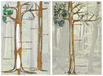 EMNER: Tegningen viser hvorfra emnene til de forskjellige delene av en Oselvar er hentet fra trærne.