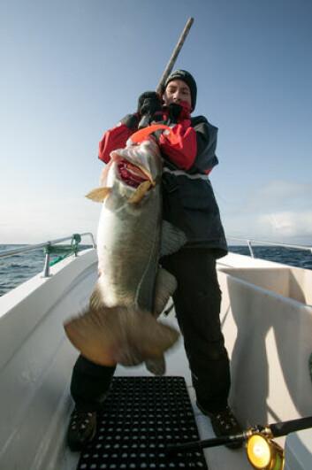 ENDA EN STORTORSK: Torsken har latt seg lure av en stor gummishad fisket pelagisk i vannmassene. Denne veide godt over 10 kilo og ga fiskeren en formidabel fight!