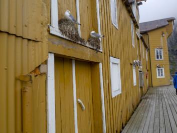 BRYGGELANGS: Måker i Nusfjord