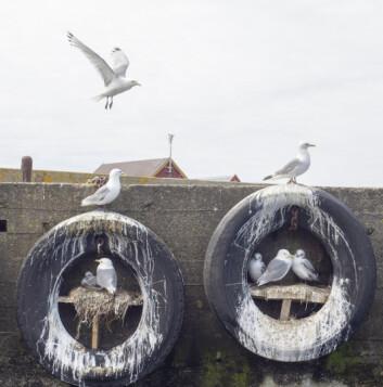 MÅKER: Fugleliv ved Grip havn.