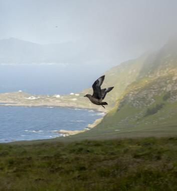 Storjo på fuglefjellet på Runde.