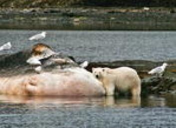En strandet hval i Van Keulenfjorden er rene spisskamerset for isbjørn. Vi blir liggende på utsiden med båten og kikke. Foto: Audun Hetland.no