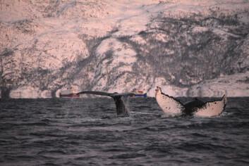 HVAL: Å oppleve hval på nært hold er et mektig skue.