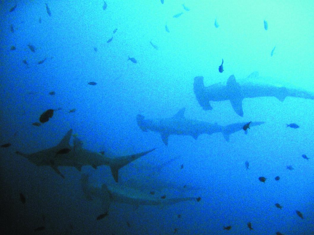 MANIKYR: I flokkevis kommer hammerhaiene til Isla del Coco for å få sin manikyr, sin make-over.