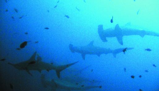 Bergtatt av haier