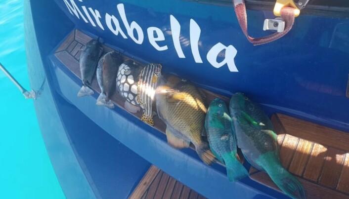 Mirabella melder om at det blir mye harpunfiske, der de ligger i karantene i Maldivene. Den eksotiske fangsten er jo underholdning i seg selv.