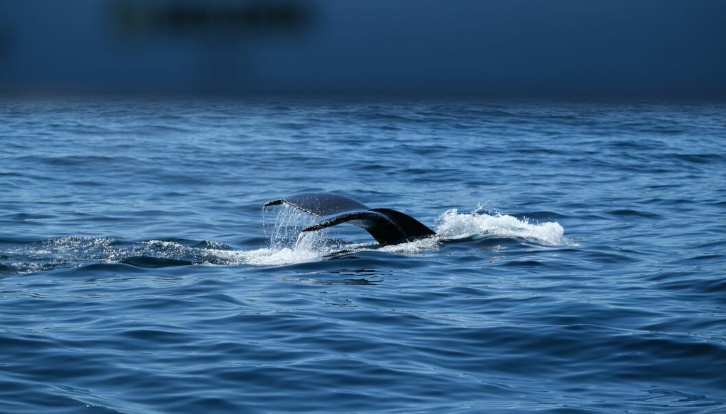 Flere hval av ulike slag svømte omkring Vilja på vei nordover og kom gjerne nært opptil båten.