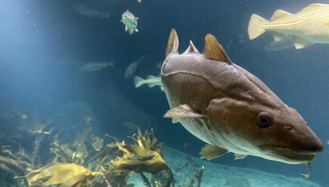 TRUET: Flere steder langs kysten er torsebestanden truet. Fra 1. januar til 30. april er det forbud mot all fiske langs flere steder langs kysten.