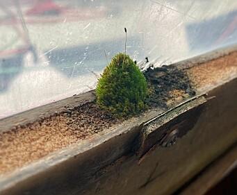 GRØNT: Det er ikke alltid possitivt med grønne vekster under dekk. Her vokser det noe vinduskarmen.